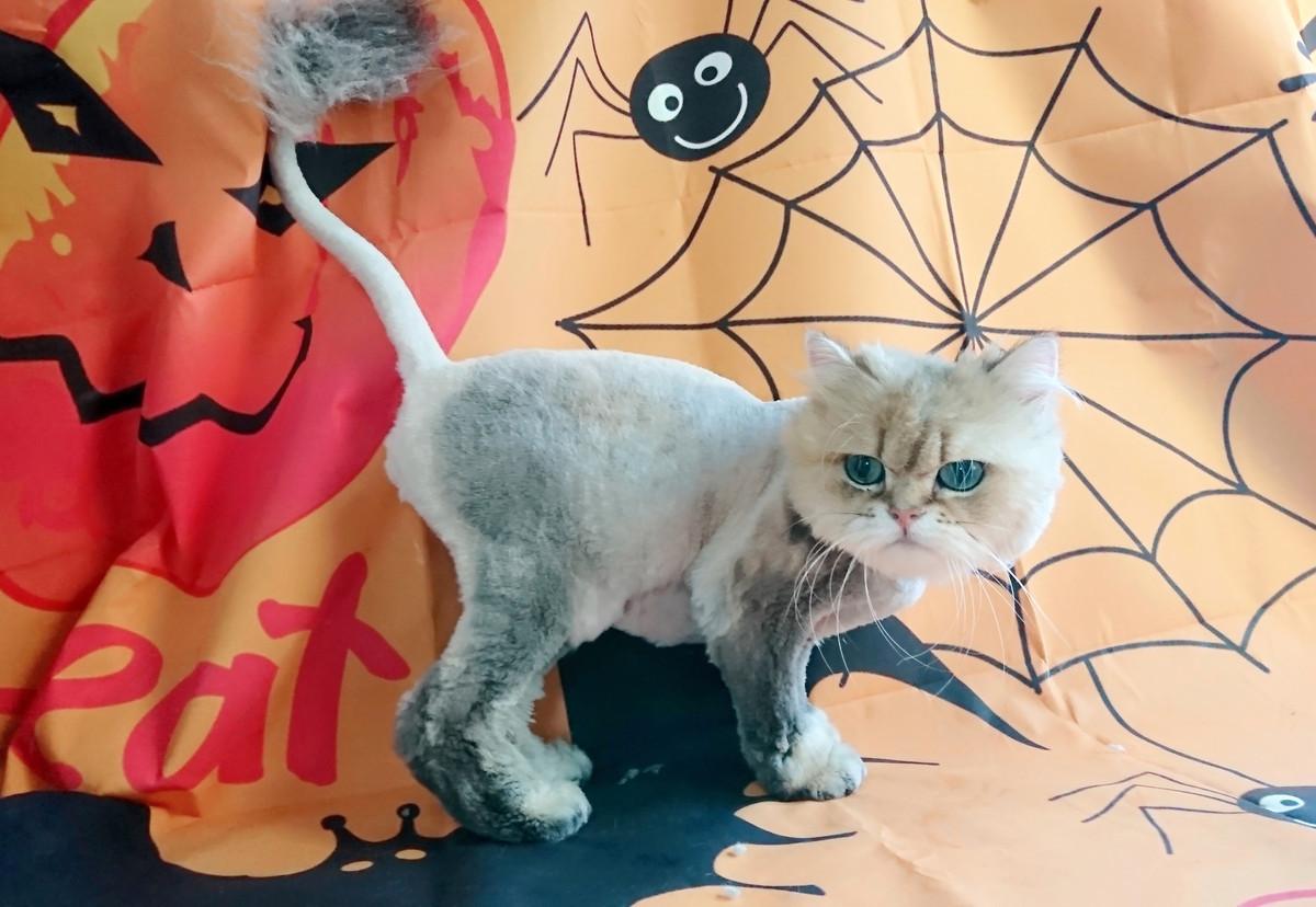 猫のシオリちゃん トリミングコース